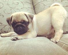 Pug puppy Sweetness.