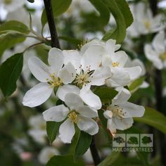 Malus John Downie produces large fruits that are perfect for crab apple jelly and jam. Buy quality trees online for fast UK delivery with a 2yr guarantee!
