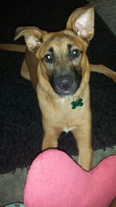 Boxer German Shepherd Mix Puppies With Images Puppy Dog