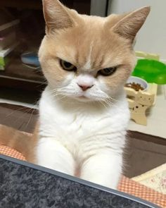 """Cats are known to be grumpy and distant, but we love them nevertheless. Of course, when it comes to grumpy cats, the most famous one is the original """"grumpy cat"""", but there is a Scottish fold cat… Funny Cat Photos, Funny Cat Videos, Funny Cats, Grumpy Cats, Tabby Kittens For Sale, Cute Kittens, Kittens Meowing, Baby Animals, Funny Animals"""