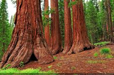 Mariposa Grove is home to over 500 Giant Sequoia trees in Yosemite National Grove. The exquisite Giant Sequoias that grow here are among the biggest living Giant Sequoia Trees, Giant Tree, Big Tree, Pixel Photo, Sequoiadendron Giganteum, Survival, Wood Tree, Album Photo, Image Hd
