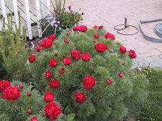 Japanese Fern Leaf Peony | Home > Products > Paeonia - Japanese Fern Leaf Peony