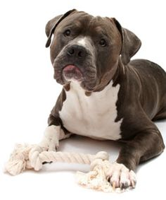 Check out these 5 training tips that will help you effectively train your Pit Bull dog breed.