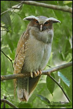 "Crested-Owl:  This is the exact photograph that was used to create the so-called ""violet owl"" fake photo."