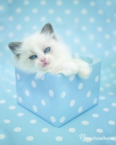Tom (Ragdoll Kitten) - Tom always finds the perfect spot.  (pic by Rachael Hale)
