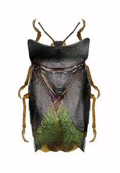 Asiarcha nigridorsis