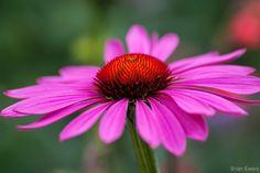 Echinacea-purpurea-magnus.jpg (2000×1333)