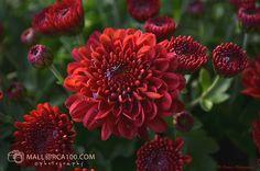 Chrysanthemum, Garden, Plants, Tattoo, Naturaleza, Flowers, Round Round, House, Ideas
