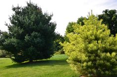White pine and Japanese Red pine in landscape in A Garden For All by Kathy Diemer http://agardenforall.com