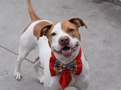 Brooklyn Center TOMMY  – A1072027  NEUTERED MALE, WHITE / BROWN, AM PIT BULL TER MIX, 2 yrs OWNER SUR – ONHOLDHERE, HOLD FOR ID Reason LLORDPRIVA Intake condition EXAM REQ Intake Date 04/30/2016, From NY 11208, DueOut Date 04/30/2016,