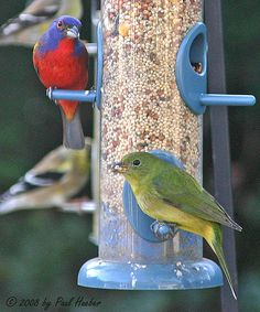 Painted Buntings (Passerina ciris)  (male and female)   |Photo by ~Paul Hueber~  March 4 2008|