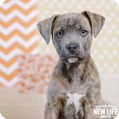 Portland, OR - Pit Bull Terrier Mix. Meet Hamlet, a puppy for adoption. http://www.adoptapet.com/pet/14996587-portland-oregon-pit-bull-terrier-mix