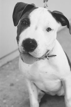 skylar_pitbull_pup_bw  looks like my Gabriel <3