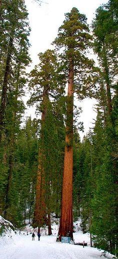 Soaring sequoia trees at Mariposa Grove of Giant Sequoias in Yosemite National Park, California | HoHo Pics