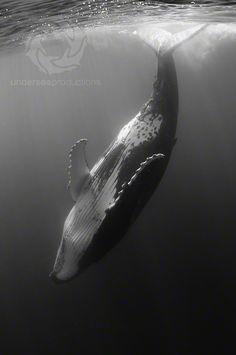 Female humpback whale, underwater