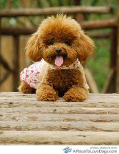 happy poodle