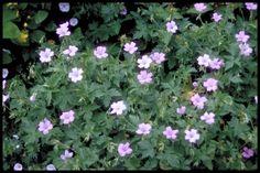 Geranium x oxonianum 'Walter's Gift' - Geranium - Plantengids - Tuincentrum Vechtweelde
