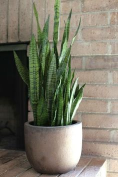 Botanical Inspiration: Sansevieria trifasciata — COCOON HOME These plants can survive in a no-light room. Sansevieria Trifasciata, Sansevieria Plant, Cool Plants, Green Plants, Tropical Plants, Potted Plants Patio, Indoor Plants, Winter Potted Plants, Plants In Pots