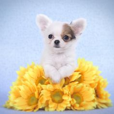 Chihuahua puppy portrait Photograph