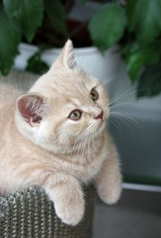 British shorthair: