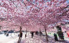 Cherry trees in Kungsträdgården - Stockholm, Sweden © Magnus Lillieborg