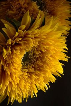 ✯ Double Shine Sunflowers Beautiful by the bucket on sideboards or just about anywhere in the in the house that needs a sunny splash of color. Happy Flowers, My Flower, Pretty Flowers, Sun Flowers, Special Flowers, Sunflowers And Daisies, Wildflowers, Dame Nature, Gras