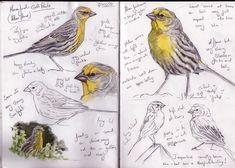 Steph Thorpe - bird artist   Steph' Thorpe. Bird Artist and Illustrator   Artwork of bird species ...
