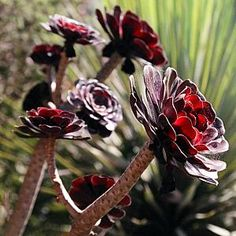 Aeonium arboreum 'Atropurpureum' (Purple Aeonium) - A striking dark purple succulent which forms branched stems 3 feet tall. Rosettes are formed at the ends of the stems. Yellow flowers form long clusters in the summer.
