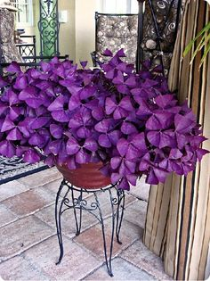 Oxalis Purple Clover (Purple Shamrock) has exquisite heart-shaped leaves and is easy to grow and take care of. But should you forget to water, it will  revive itself via tiny bulbs that can go dormant in the soil. May be hazardous to pets.
