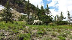 Wildlife! Mountain goats at Glacier NP.