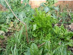 kales, sorrel, leeks, lambs lettuce, leeks getting going One Straw Revolution, Perennial Vegetables, Forest Garden, Permaculture, Homesteading, Perennials, I Can, Herbs, Canning