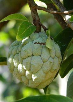 Sugar fruit, Baracoa