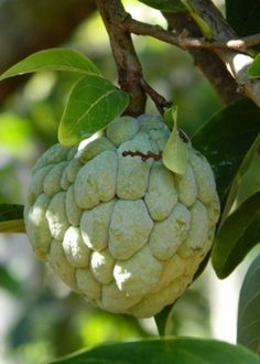 "Cuban fruit "" ANON"" Baracoa, Cuba"