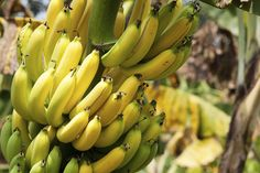 Cavendish Banana Tree at Backyard Fruit