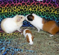 happy guinea pig family