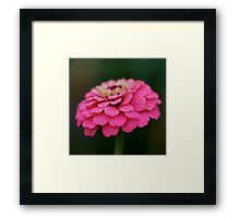 'Pink Zinnia ' by Helen Kelly Framed Prints, Canvas Prints, Art Prints, Zinnias, Mask For Kids, Art Boards, Greeting Cards, Pink, Art Impressions