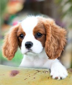 Cavalier King Charles Spaniel - Dogs and Cats.  They don't care what color you are, how big or small, fat or thin, successful or not.  They just want to love you. Hug your pet today. You will find a moment of pure joy.