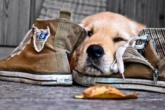 """snuggling with my best friends shoes"" Silly Dogs, Cute Dogs, Funny Dogs, Golden Labrador, Dog Lady, Fat Cats, Mans Best Friend, Dog Pictures, Puppy Love"