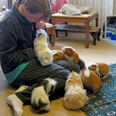 Buy The Right Size Guinea Pig Cage. Photo by maskarade Purchasing a guinea pig cage in a pet shop is unfortunately a good way to ensure that it is in fact too small for your pet's needs. Pet Guinea Pigs, Guinea Pig Care, Hamsters, Rodents, Animals And Pets, Baby Animals, Guinie Pig, Pig Pics, Wombat