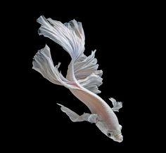 Siamese fighting fish Photograph: Visarute Angkatavanich