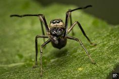 Giant Ant Mimic Spider -  ( Myrmarachne Maxillosa )