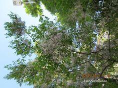 parquealamillo-encinarosa: Melia azederach / Cinamomo / Melia / Árbol santo /...