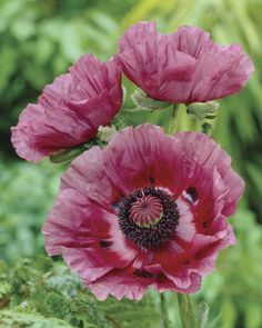 Growing Oriental poppies with Sensible Gardening and Living