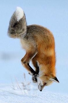Fox Pouncing Fox Vixen tod Renard Рисица Zorro 狐 Sionnach - Card Billboards Nature Animals, Animals And Pets, Baby Animals, Funny Animals, Cute Animals, Wild Animals, Beautiful Creatures, Animals Beautiful, Fuchs Baby