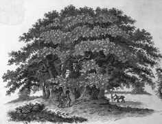 There used to be 4 billion American chestnut trees, but they all disappeared The kings of the Eastern forest now die as shrubs American Chestnut, Environmental Degradation, Unique Trees, Forest Service, Animal Species, Permaculture, Ecology, The Locals, Grape Vines