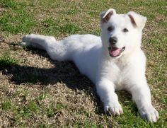 EIRAMOR White Swiss Shepherd Dogs
