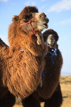 Camel With her Calf: baby camels are born without humps