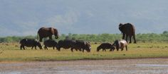 Hippos and elephants along the shoreline of the lake.