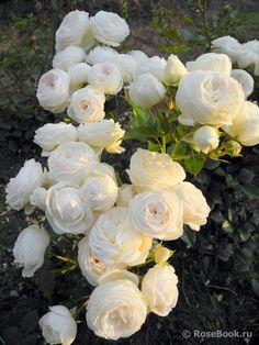 Pretty Roses, Beautiful Roses, Beautiful Gardens, All Flowers, Flowers Nature, White Flowers, Rose Trees, Coming Up Roses, Ornamental Plants