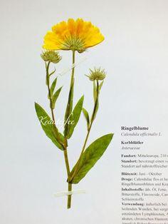 Kräuterfee: #Herbarbeleg  #Ringelblume #Dandelion  #Calendula off...